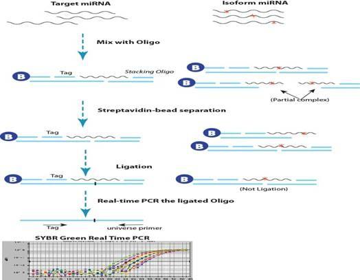 之前大家熟知的miRNA RT-PCR引物主要有两种类型: 1、 Oligod(T)特异的RT引物(QIAGEN产品为主) 由特异序列+(T)20左右+兼并碱基V或VN组成。(所有miRNA可以公用一个Oligod(T)的RT引物,但是RNA在反转录前需要进行末端Poly(A)加尾) 2、茎环状结构的RT引物(ABI产品为主) 由可以自身呈环茎状的特异序列+6到8个miRNA3'端反向互补碱基组成。(一条miRNA序列特异对应一个茎环状结构的RT引物)。