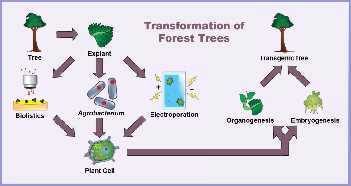 一株转基因植物的诞生