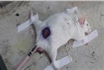 鼎国生物 动物实验 小鼠创伤模型 动物建模 技术服务 外包 价格
